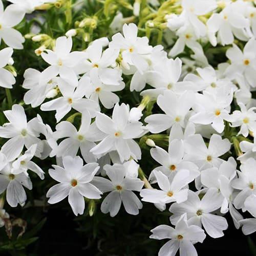Флокс шиловидный White Delight