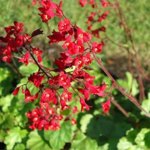 Гейхера кроваво-красная Coral Forest