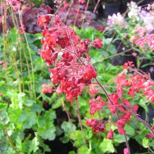 Гейхера кроваво-красная Ruby Bells