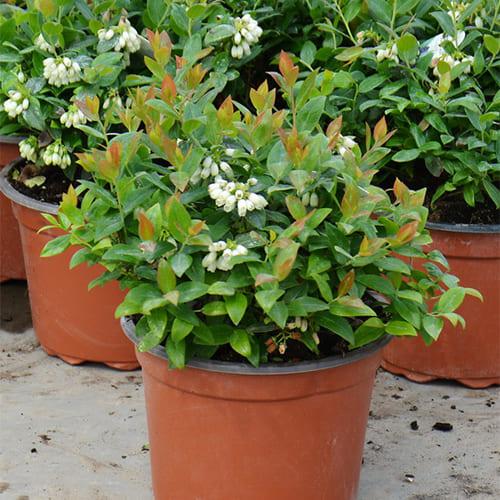 Голубика садовая Berry Bux