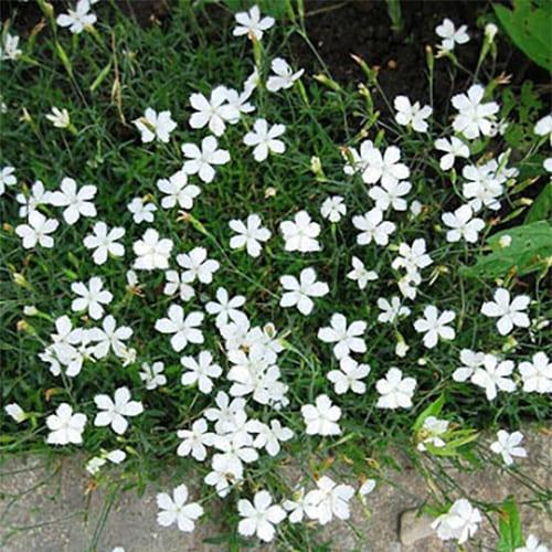 Гвоздика травянка белая