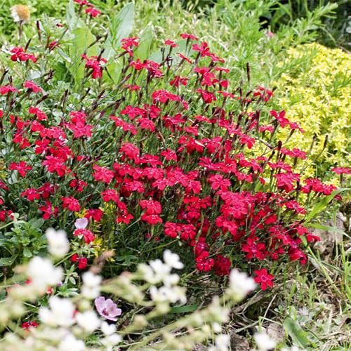 Гвоздика травянка Brilliant Red