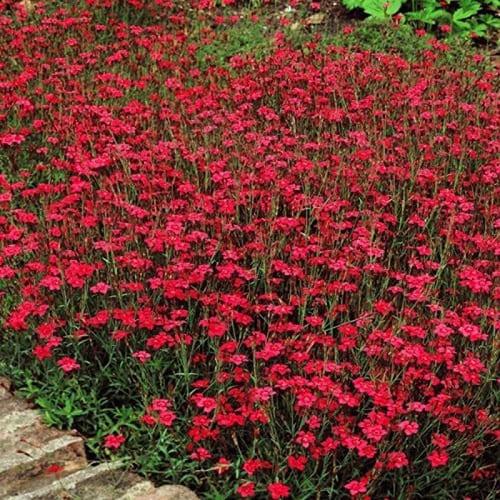 Гвоздика травянка красная