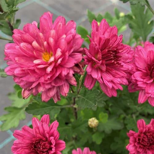 Хризантема розовая