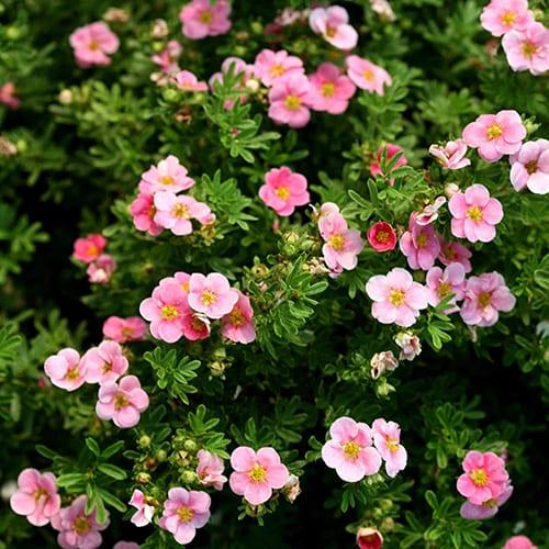 Лапчатка кустарниковая Lovely Pink