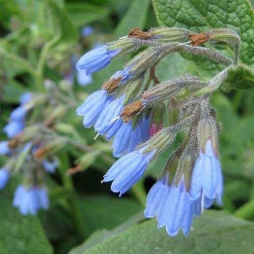 Окопник крупноцветковый Hidcote Blue