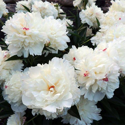 Пион молочноцветковый Festiva Maxima