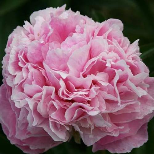 Пион молочноцветковый Pink