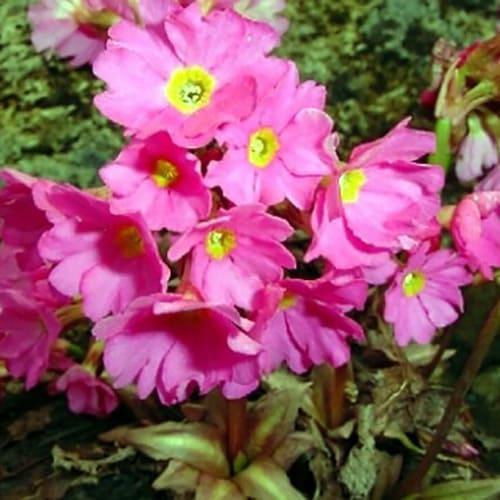 Примула розовая Grandiflora