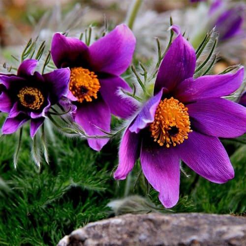 Прострел обыкновенный Pinwheel Blue Violet Shades