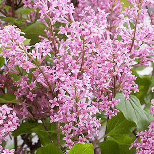 Сирень Мейера Flowerfesta Pink