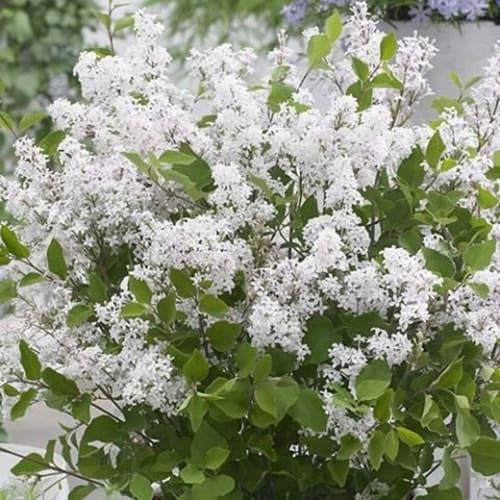 Сирень Мейера Flowerfesta White