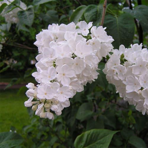 Сирень обыкновенная Flora