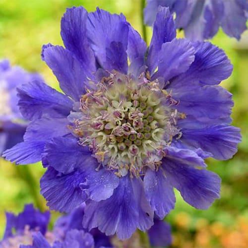 Скабиоза кавказская Fama Deep Blue