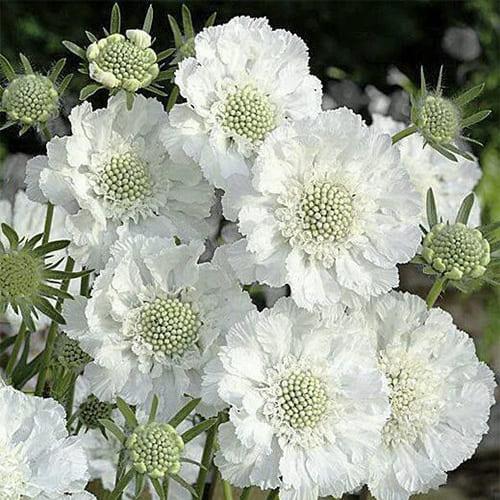 Скабиоза кавказская Fama White