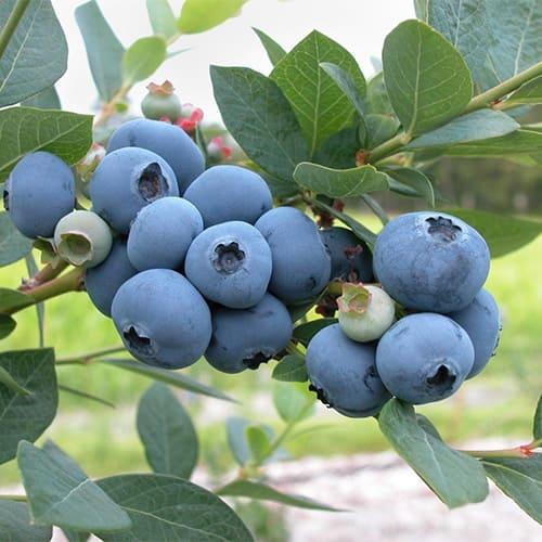 Голубика садовая Bluejay
