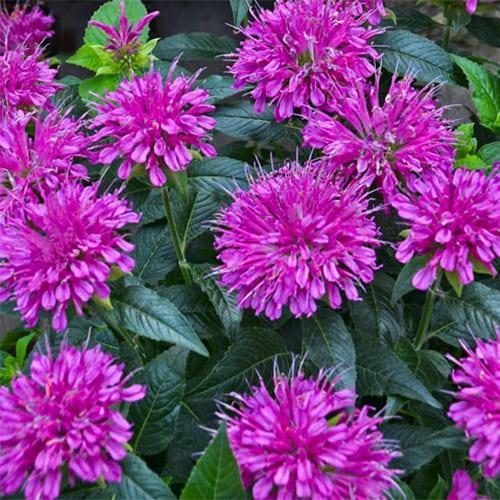 Монарда гибридная Purple Lace
