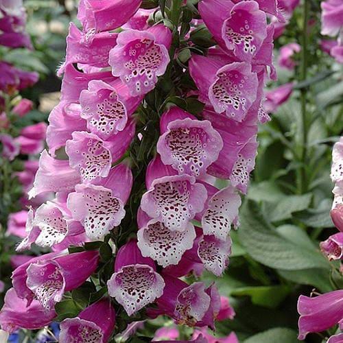 Наперстянка Dalmatin Purple
