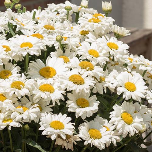 Нивяник наибольший Sweet Daisy Jane