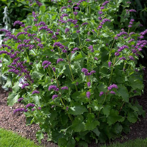 Шалфей мутовчатый Purple Rain