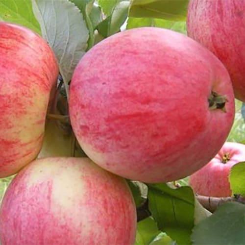Яблоня Яблочный спас