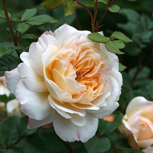 Роза английская Crocus Rose