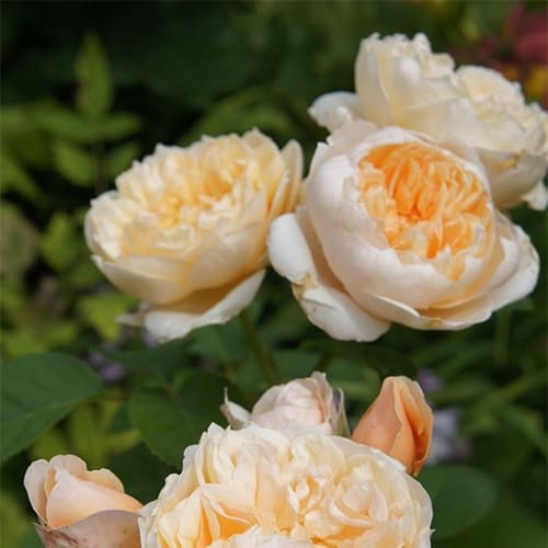 Роза английская Jayne Austin