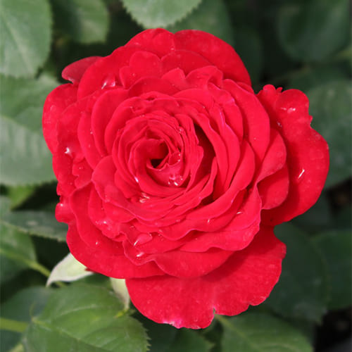 Роза чайно-гибридная Dominica