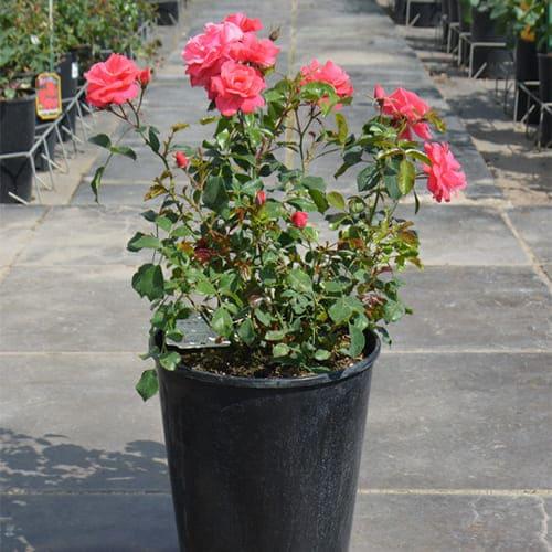 Роза флорибунда Bad Birnbach