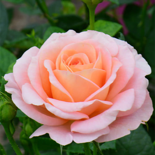 Роза флорибунда Bengali