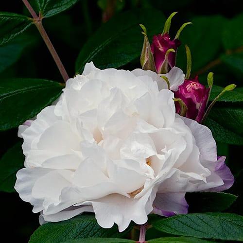 Роза канадская Louise Bugnet