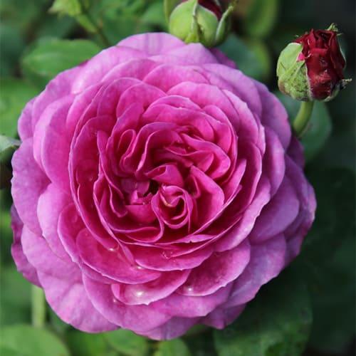 Роза миниатюрная Heidi Klum Rose