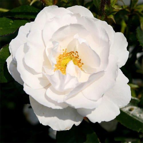 Роза плетистая Hella