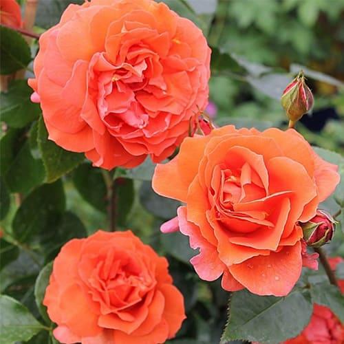 Роза плетистая Naranga