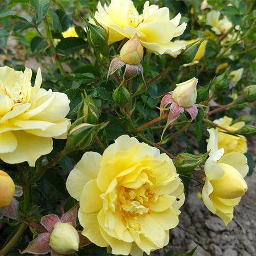 Роза почвопокровная Sonnenschirm