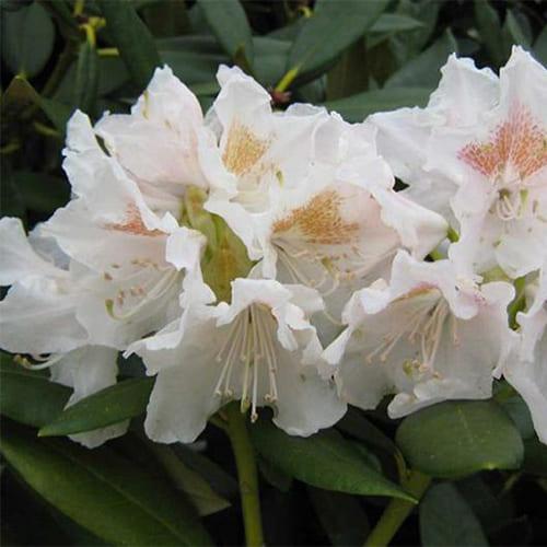Рододендрон гибридный Conningham White