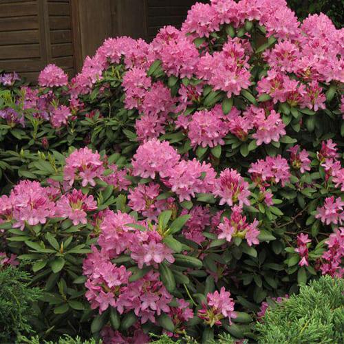 Рододендрон гибридный Roseum Elegans