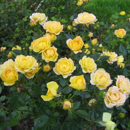 Роза почвопокровная Yellow Fairy