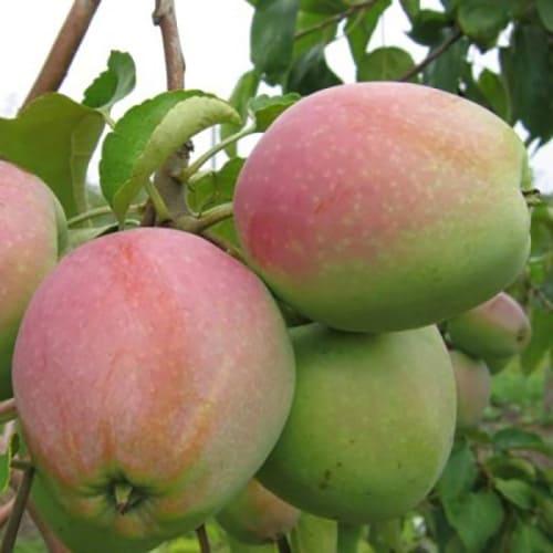 Яблоня Горный Синап