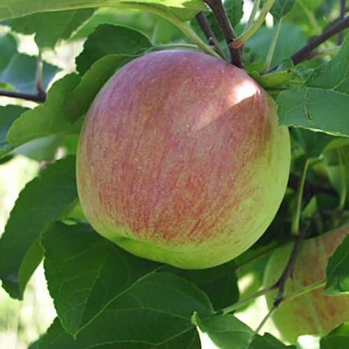 Яблоня осенняя Орловское полосатое