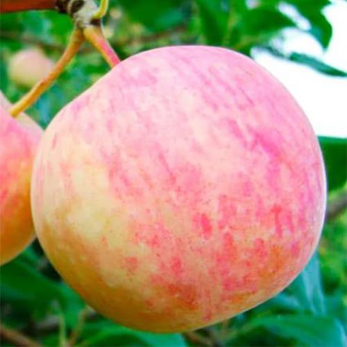 Яблоня осенняя Уралец