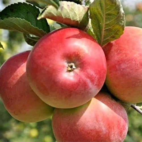 Яблоня осенняя ВЭМ розовая