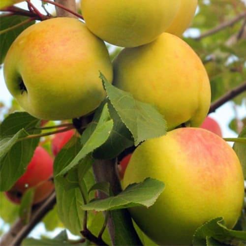 Яблоня осенняя ВЭМ желтая