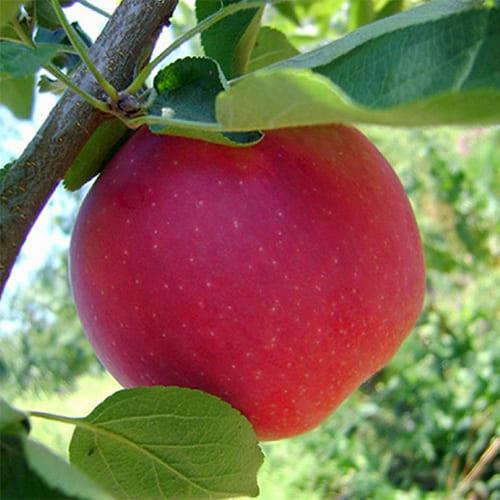 Яблоня зимняя Пепин шафранный