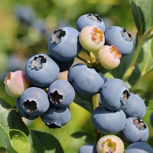 Голубика садовая Early Blue