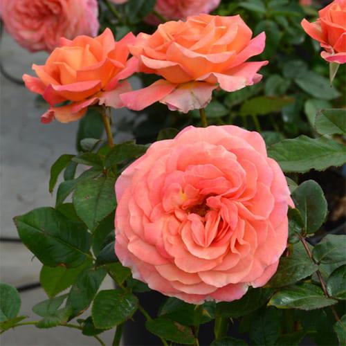 Роза чайно-гибридная La Palma