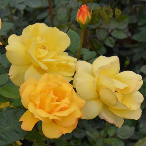 Роза флорибунда Arthur Bell