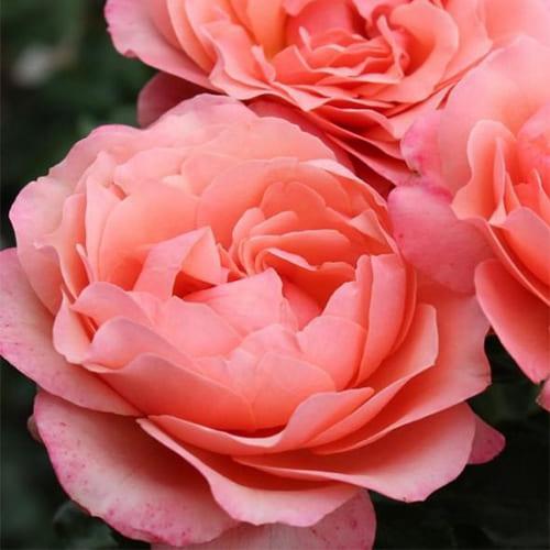 Роза флорибунда Coral Lions-Rose