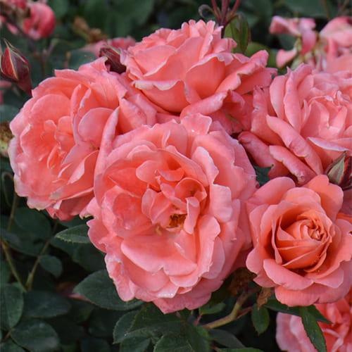 Роза флорибунда Favorite