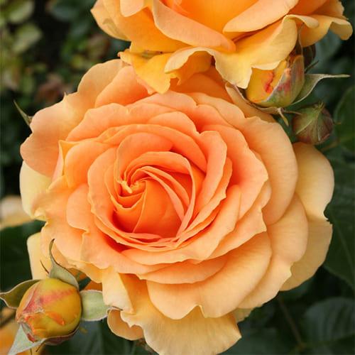 Роза флорибунда Goldelse